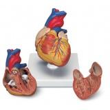 Сърце и кръвообращение